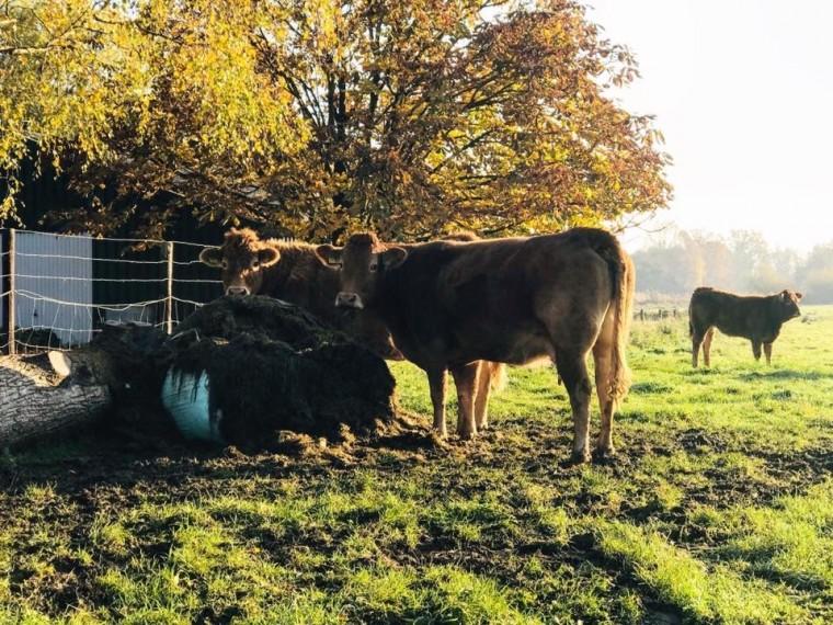 foto-op-canvas-koeien-3
