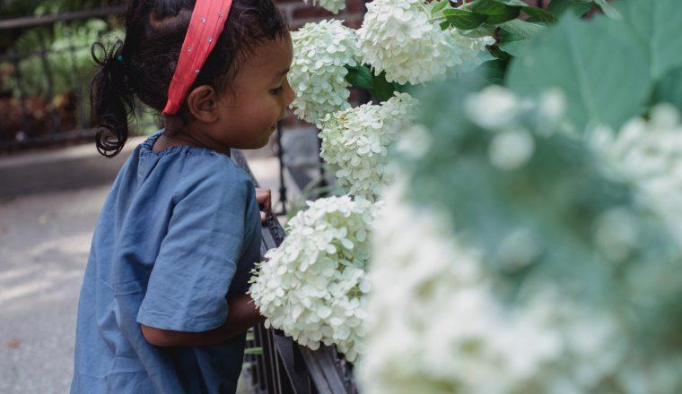 populaire hortensia